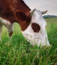 Hybrid Ryegrass Clover Mix For Cutting or Grazing