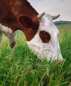 Agri-Cutting-&-Grazing-Hybrid-with-Clover