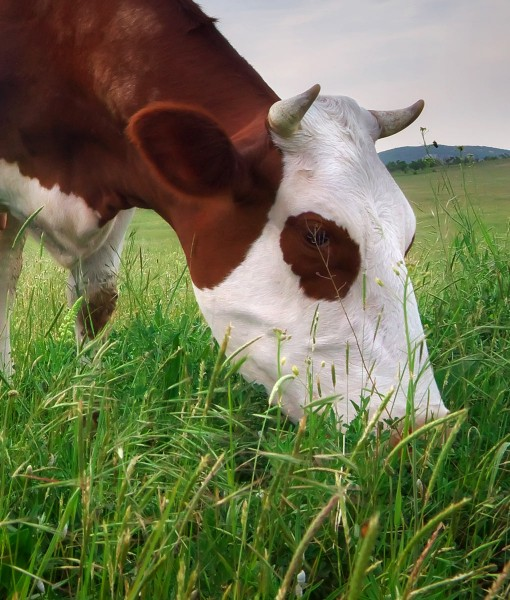Hybrid Ryegrass Clover Seeds For Cutting or Grazing
