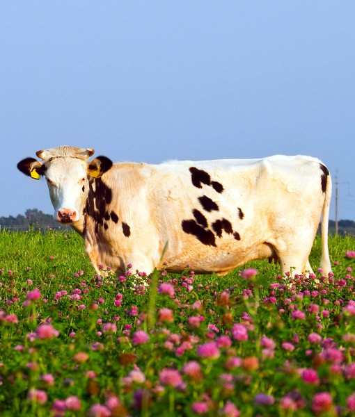 Red Clover Ryegrass For Cutting or Grazing