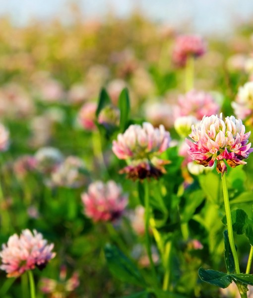 Agri-Red-Clover-Overseeding