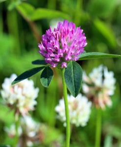 Red and White Clover Seed