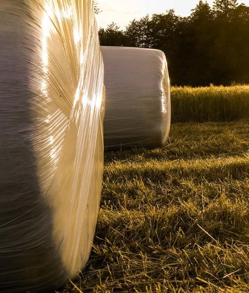 Westerwolds Ryegrass Seed