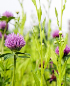 Agri-Silage-Lays-Red-Clover-2-Year