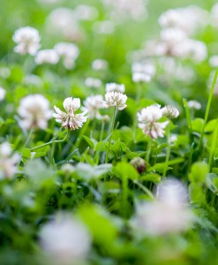 White Clover Seeds