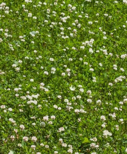 White Clover Seed For Overseeding
