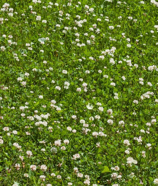 Agricultural White Clover Over Seeding Grazing Pastures or Leys