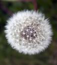 Autumn-Hawkbit-Wildflower-Seeds