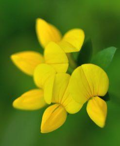 Birdsfoot-Trefoil-Wildflower-Seeds