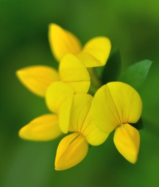 Native Acidic Soil Wildflower Seeds