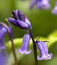 Woodland Glade Wildflower Seeds