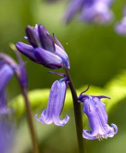 Bluebell-Wildflower-Seeds