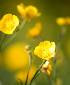 Bulbous-Buttercup-Wildflower-Seeds