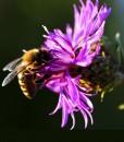 Common-Knapweed-Wildflower-Seeds