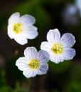 Common-Sorrel-Wildflower-Seeds