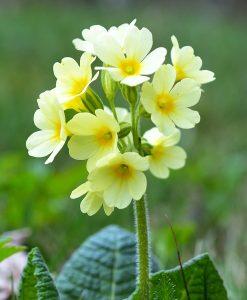 Cowslip-Wildflower-Seeds