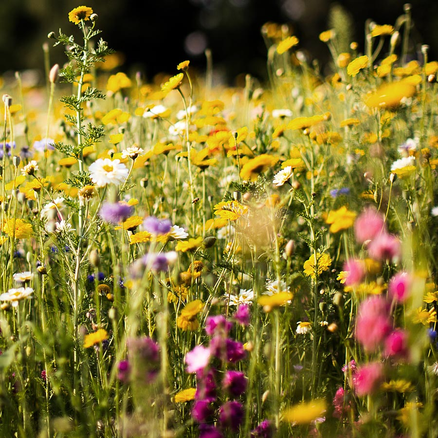 Wildflower Meadow Seeds & Meadowgrass Seed Suppliers