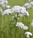 Great-Burnet-Wildflower-Seeds