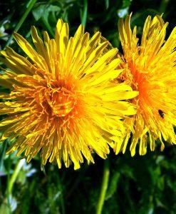 Greater-Hawkbit-Wildflower-Seeds