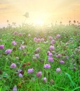 Green-Manure-Red-Clover-Green-Manure