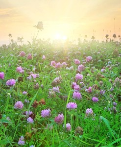 Red Clover Green Manure