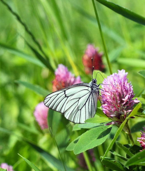 Soil Improving Green Manure Seed