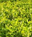 Green-Manure-Summer-Green