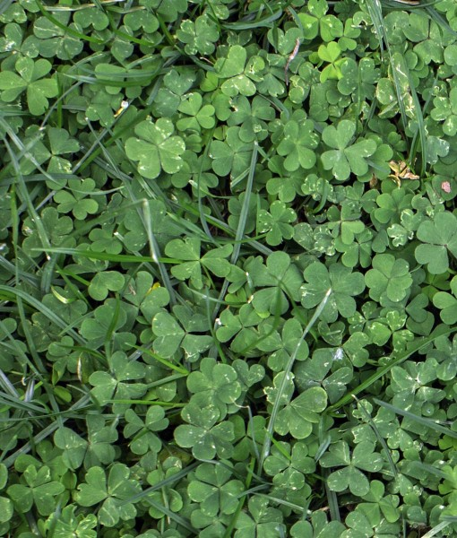 Green-Manure-Undersowing