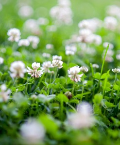 White Clover Green Manure Seed