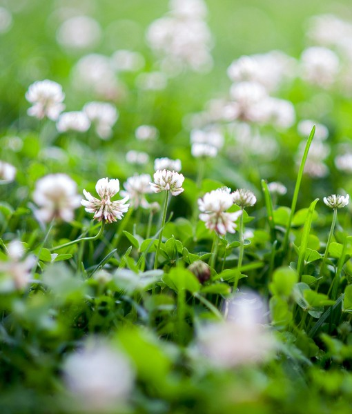 Green-Manure-White-Clover-Green-Manure
