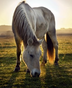 Horse-&-Pony-Basic-Equine-Pasture