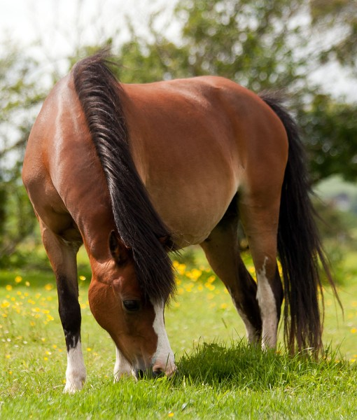 Horse-&-Pony-Diverse-Equine-Pasture-Herbs