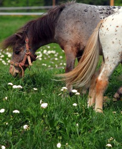 Horse Pasture Herb Seeds