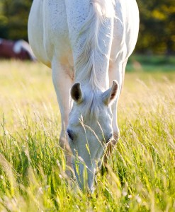 horse pasture seed without ryegrass. Equine pasture without ryegrass