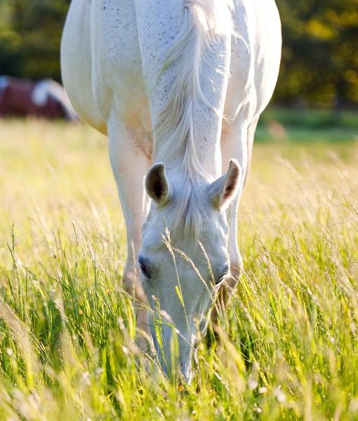 Horse-&-Pony-Non-Ryegrass-Equine-Pasture