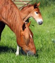 No Ryegrass Equine Grazing With Pasture Herbs