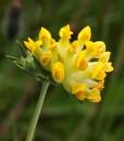 Kidnet-Vetch-Wildflower-Seeds