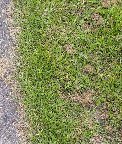 Repair Overseeding Lawn Seed With Ryegrass
