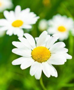 Ox-Eye-Daisy-Wildflower-Seeds