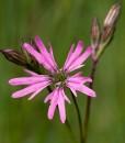 Ragged-Robin-Wildflower-Seeds