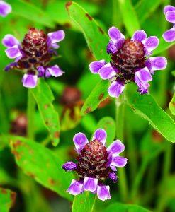 Self-Heal-Wildflower-Seeds