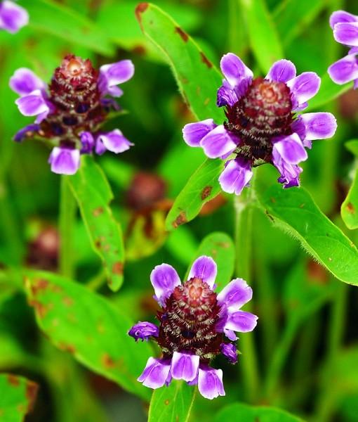 Native Damp Soil Wildflower Seeds