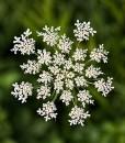 Wild-Carrot-Wildflower-Seeds