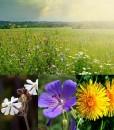 Diverse Native Wildflower Meadow Seeds