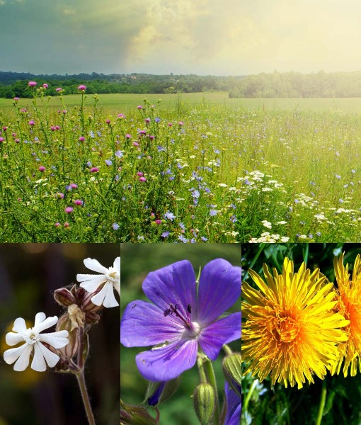 Diverse Native Wildflower Meadow Seeds Supplier