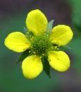 Wood-Avens-Wildflower-Seeds