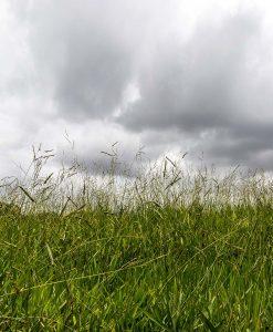 Meadow-Grass-Basic