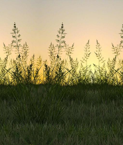 Hay Meadow Seed