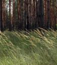 Native Meadowgrass Seeds For SSSL Reinstatement