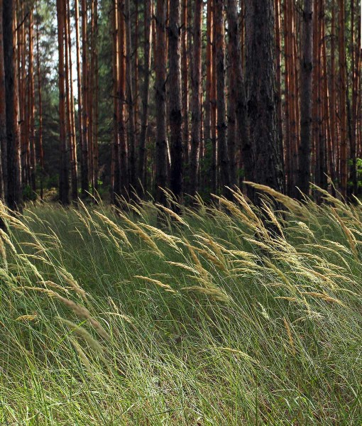 Native Meadowgrass Seeds